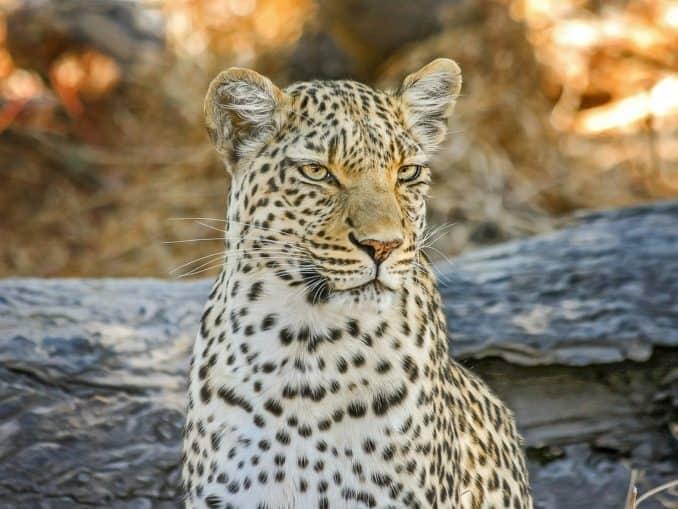 Botswana Nationalpark Leopard